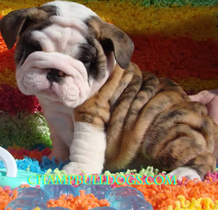 toy bulldog puppies for sale adult mini english bulldog pictures 4914