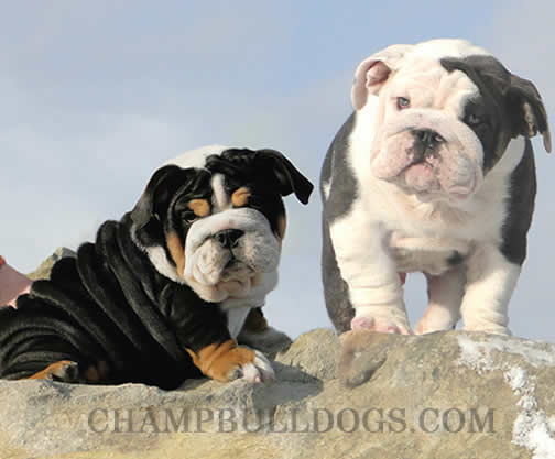 rare english bulldog colors champbulldogs com blue bulldog puppies for sale blue 2693