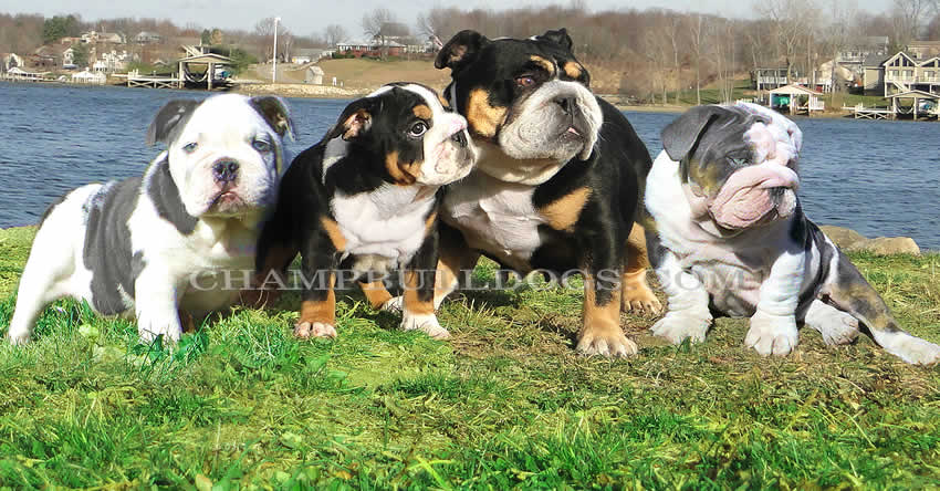 Champbulldogscom Blue Bulldog Puppies For Sale Blue